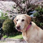 なごみの里 桜の木